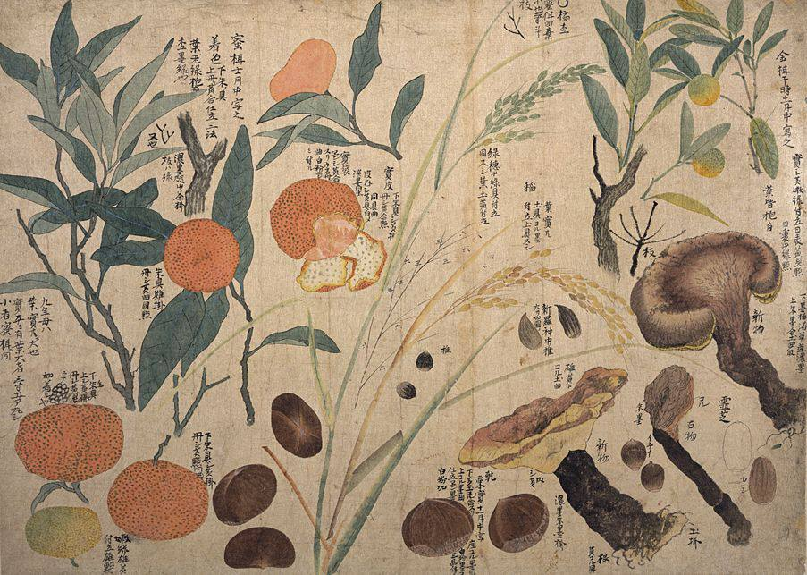Illustration of Chinese Herbal Medicine plants